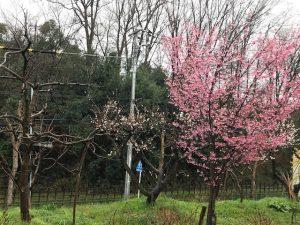 124b 桜と梅