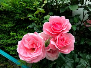今年は実家の庭のバラが一斉に咲き始めました。